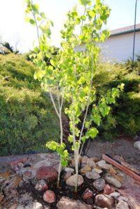 "ALT=""aspen tree in April"""